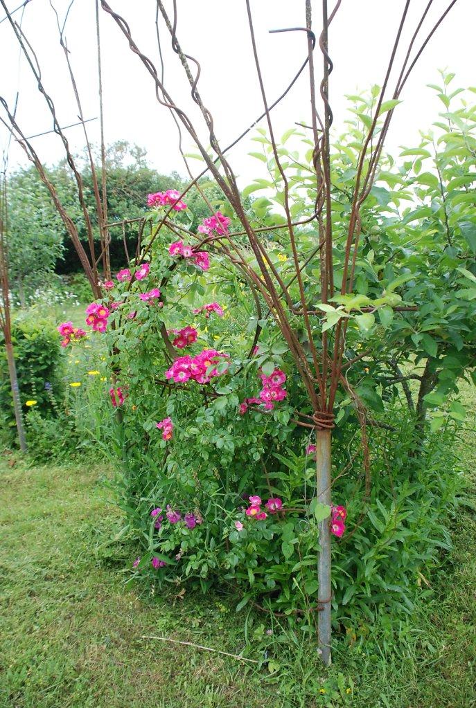 rosier american pillar